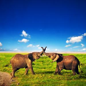 Elephants Playing With Their Trunks On African Savanna. Safari In Amboseli, Kenya, Africa by Michal Bednarek