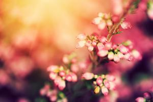 Heather Flowers on a Fall, Autumn Meadow in Shining Settng Sun that Gives Warm Mood. Vintage Retro by Michal Bednarek