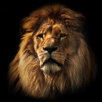 Lion Portrait on Black Background. Big Adult Lion with Rich Mane. by Michal Bednarek