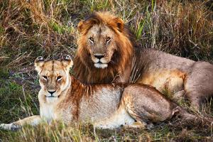 Male Lion and Female Lion - a Couple, on Savanna. Safari in Serengeti, Tanzania, Africa by Michal Bednarek