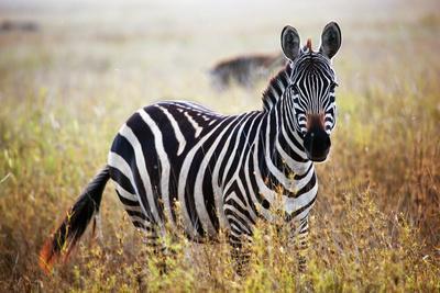 Zebra Portrait On African Savanna. Safari In Serengeti, Tanzania