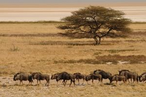A group of antelopes at the heart of Etosha National Park, Namibia, Africa by Michal Szafarczyk