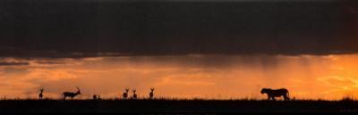 Lion Hunting, Masai-Mara, Kenya