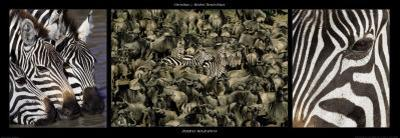 Zebras Migration