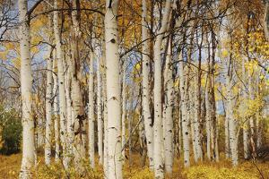 Aspens with autumn foliage, Kaibab National Forest, Arizona, USA by Michel Hersen