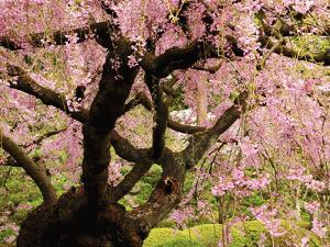 Cherry Tree in Bloom, Portland Japanese Garden, Portland, Oregon, USA by Michel Hersen