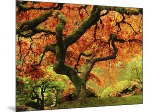 Japanese Maple in Full Fall Color, Portland Japanese Garden, Portland, Oregon, USA by Michel Hersen