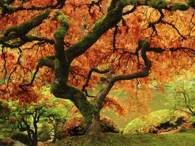 Japanese Maple in Full Fall Color, Portland Japanese Garden, Portland, Oregon, USA by Michel Hersen