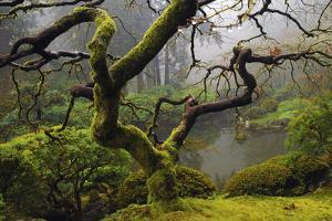 Japanese Maple in Winter, Portland Japanese Garden, Oregon, USA by Michel Hersen