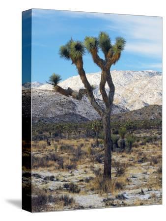 Joshua Trees in Winter, Joshua Tree National Park, California, USA