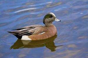 Male, American Wigeon, Swimming, Commonwealth Lake Park, Oregon, Usa by Michel Hersen