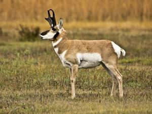 Pronghorn, Antelope Flats, Grand Teton National Park, Wyoming, USA by Michel Hersen