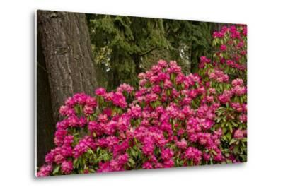 Rhododendrons, Crystal Springs Garden, Portland, Oregon, Usa
