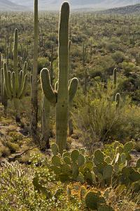 Saguaro and Prickly Pear Cacti, Signal Hill, Saguaro NP, Arizona, Usa by Michel Hersen