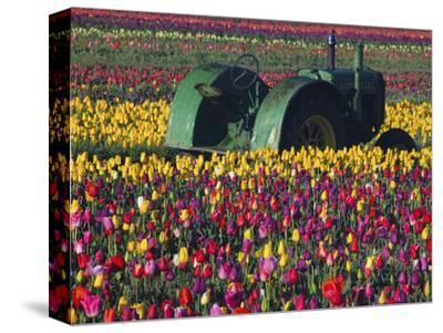 Tractor in the Tulip Field, Tulip Festival, Woodburn, Oregon, USA
