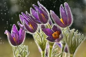 Pasque Flowers (Pulsatilla Vulgaris) in Rain, Lorraine, France, April by Michel Poinsignon