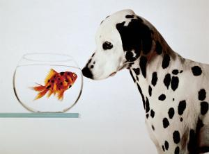 Dalmation Dog Looking at Dalmation Fish by Michel Tcherevkoff