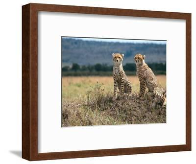 Cheetah Cubs, Masai Mara, Kenya