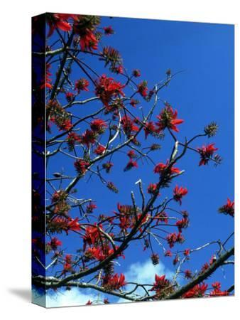 Close-up of Flame Tree with Sky