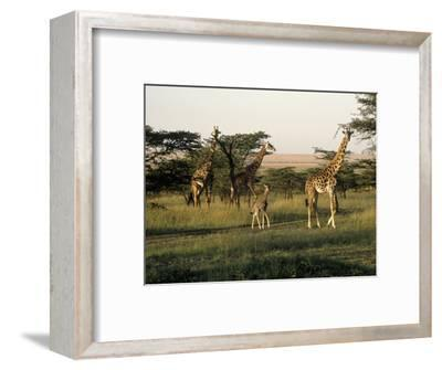 Giraffes, Masai Mara National Park, Kenya