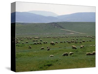 Grazing Sheep Near Lancaster, PA