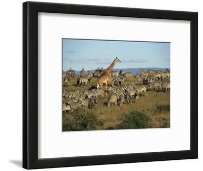 Kenya, Masia Giraffe and Herd of Zebra