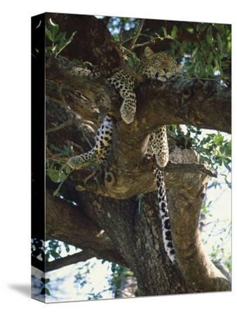 Kenya, Samburu Game Reserve, Leopard