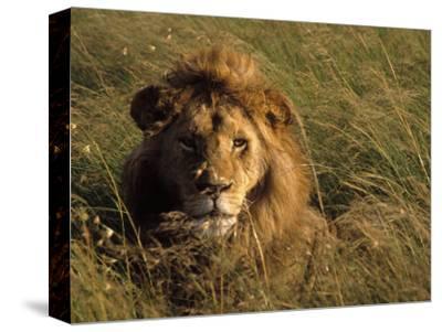 Lion in Long Grass, Masai Mara National Park, Kenya