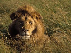Lion in Long Grass, Masai Mara National Park, Kenya by Michele Burgess