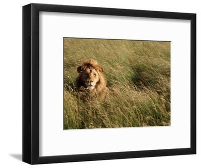 Male Lion Hiding, Masai Mara National Park, Kenya