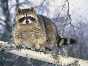 Montana, Raccoon by Michele Burgess