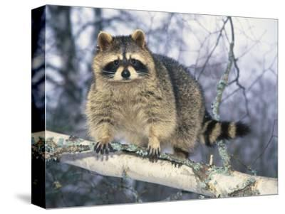 Montana, Raccoon