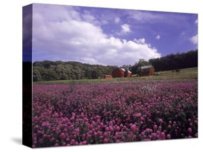 Purple Wildflowers in Field, Lancaster County, PA