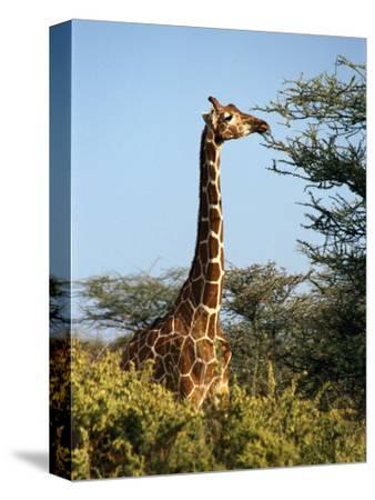 Reticulated Giraffe Eating Acacia, Samburu, Kenya
