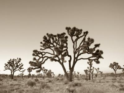 California, Joshua Tree National Park, Joshua Trees, USA by Michele Falzone