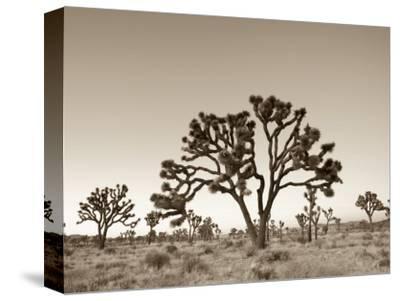 California, Joshua Tree National Park, Joshua Trees, USA