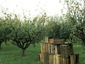 Apple Orchard, Apple Collecting in Wooden Boxes by Michele Lamontagne