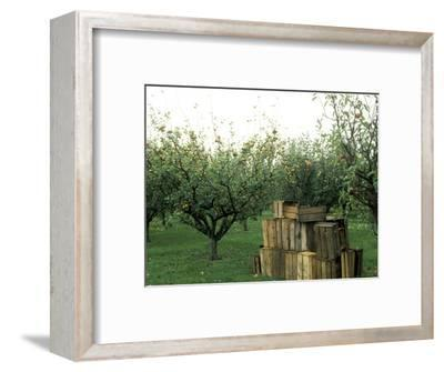 Apple Orchard, Apple Collecting in Wooden Boxes