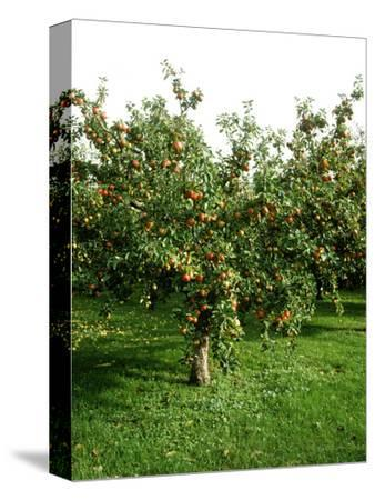 """Apple Tree with Fruit in Autumn Malus """"May Queen"""""""