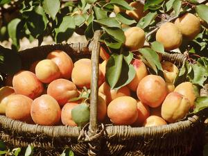 Apricot, Fruits in Basket in Basket, Beneath Bough with Fruit by Michele Lamontagne