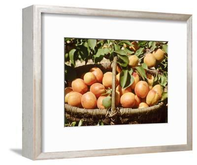 Apricot, Fruits in Basket in Basket, Beneath Bough with Fruit