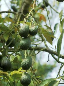 Avocado (Persea Americana) Fruit on Plant by Michele Lamontagne
