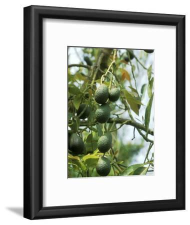 Avocado (Persea Americana) Fruit on Plant