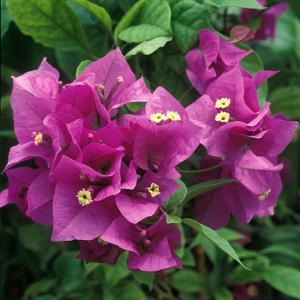 "Bougainvillea ""Purple Robe"" Close-up of Flowers by Michele Lamontagne"