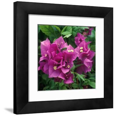 "Bougainvillea ""Purple Robe"" Close-up of Flowers"