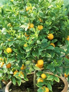 Citrus Mitis in Pot by Michele Lamontagne