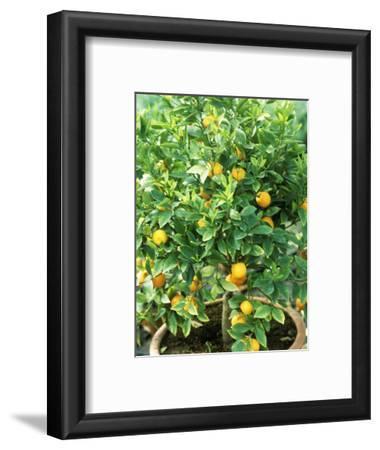 Citrus Mitis in Pot