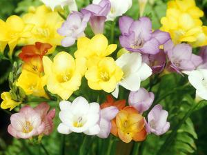 Freesia, Mixed Colours by Michele Lamontagne