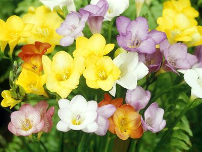 Freesia, Mixed Colours