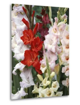 Gladiolus, Mixed Variety Close-up of Flowering Stems